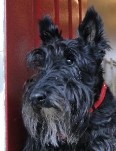 """Maybe no """"old yet"""", but a bit older now.   Broad's Lady Gracie Anne, 10 year old Scottish Terrier... love her grey beard.  <3"""