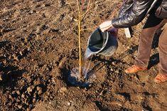 După achiziționarea pomilor fructiferi urmează plantarea. De plantarea corectă depinde în foarte mare măsură prinderea pomului și evoluția sa ulterioară. Așadar, e bine să țineți cont de următoarele aspecte: Tap Shoes, Dance Shoes, Plant, Dancing Shoes