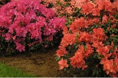 Azaleas are a subgenus of flowering shrubs that can grow up to 6 feet in height and produce numerous large flowers in colors of pink, purple, red or white. They bloom during the spring and can be deciduous or evergreen, depending on the species. Azaleas Landscaping, Garden Shrubs, Front Yard Landscaping, Shade Garden, Lawn And Garden, Pruning Azaleas, Inexpensive Landscaping, Garden Oasis, Garden Spaces