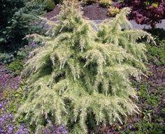 Silver Mist Himalayan Cedar - Cedrus deodara 'Silver Mist' - PNW Plants
