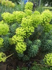 Euphorbia characias wulfenii or Spurge. zone 6 to 8, perform best in Mediterranean-type climates and may show stress in hot/humid summers, clay soils and wet winters. 2-4 feet high. cut back after bloom in summers.