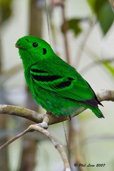 "LESSER GREEN BROADBILL (Calyptomena caudacuta) ©Phil Liew - 996sps  By Request for ""habitat of the green broadbill"" (there's also an African Green Broadbill in case this is the wrong bird :)  14 - 17cm. A plump, green bird with a short bill and a short tail.   Iridiscent green plumage    Yellow spot anteriorly above eye    Narrow pale eyering    Black spot behind ear-coverts    Broad black bars and patches on wing    Forehead tuft almost covers bill   Females are paler green, lack black"