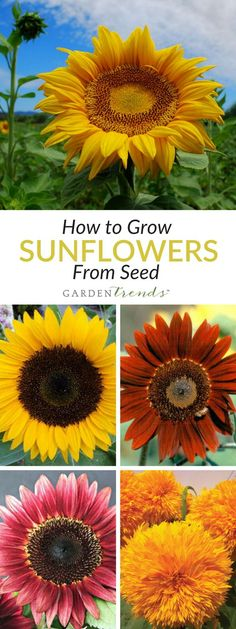 Whether you're looking for sunflowers for garden beds, containers or for cut flower production and sales, you'll find a wide assortment of this popular, easy to sow, and easy to grow flower. Find sunflowers with heights ranging from eight inches to eight feet, and flower colors extending from the traditional yellow to the more fallish bronze and gold. Click here to learn how to grow sunflowers! #gardentrends #sunflowers #flowers