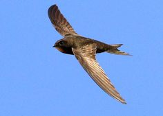 Common swifts (Apus apus) remain airborne for 10 months of their non-breeding period, according to a new study by Lund University ornithologists.