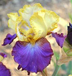 TB Iris germanica 'Bold Accent' (Brown, 1978)