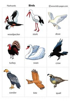 English vocabulary - Animals - birds
