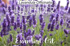 Lavender Essential Oil in South Africa