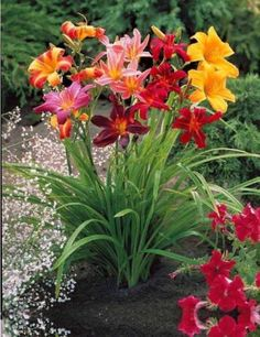 Cheap d seed, Buy Quality daylily seeds directly from China seed mix Suppliers: Day Lily Daylily Seeds Unique 50 Daylilies - Hemerocallis Fulva Day-lily Seeds Mixed Color Flower Seeds Bonsai Perennial Seed Sun Plants, Tropical Plants, Garden Plants, All Flowers, Growing Flowers, Beautiful Flowers, Green Vase, Plantation, Day Lilies