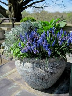 Inspiring container gardens - I love this large pot with pretty purple grape hyacinths :+) #landscaping #yard #gardening #flowers #design
