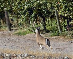 A 6-point buck deer scurries along a vineyard at the site. JOHN WALKER — THE FRESNO BEE