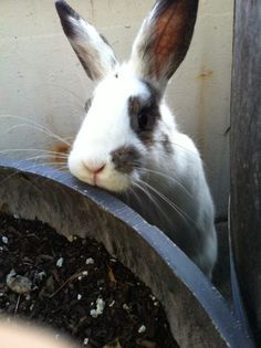 Bunny Waits for the Greens to Grow - April 25, 2012