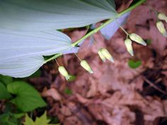 Solomon's Seal should be found at Indian Point Park and Hogback Ridge Park beginning April 10 through April 25. http://lakemetroparks.com/select-park/wildflowersinbloom#home