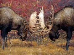 Bull Moose Face Off - Denali National Park, Alaska, photo by Michael Jones