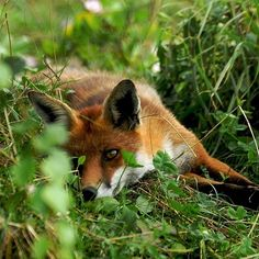 Relaxing in the grass. #Fox #Wildlife