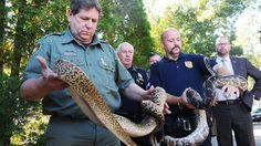 850 snakes found at home of animal control officer collecting disability