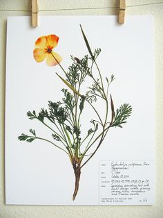 California Poppy Herbarium Specimen by DayThreeCreations