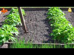 Burgonya. Ültetvény. - YouTube Image Categories, Plantation, Planting Seeds, Garden Tools, Youtube, Simple, Plants, Gardening, Gardens