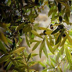 el extracto de hoja de olivo es un poderoso antioxidante y antibacteriano