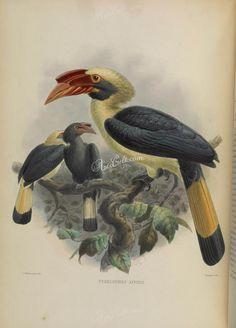 Mindanao Hornbill      ...