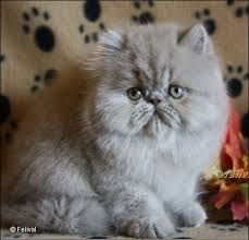 exotic persian kittens for sale - Google Search