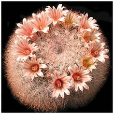 Unusual Mammillaria candida
