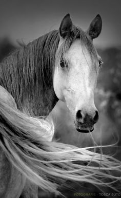 Breezy Arabian mare (Araberstute) • photo: Tosca Suto