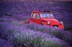 Classic 2cv in a lavender field in Provence
