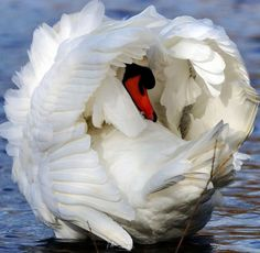 A swan face enclosed in its wings on water.