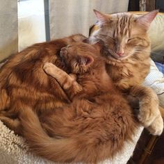 When Jesse Ryan brought Minnie the ginger kitten home, their grown up cat Evin decided that there was only one thing to do about this new arrival. He adopted him!