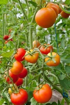 Donner des forces à ses tomates