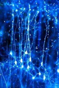 pyramidal neurons in the cerebral cortex