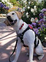 Guest Blog Post: A Diabetes Service Dog for Sarah