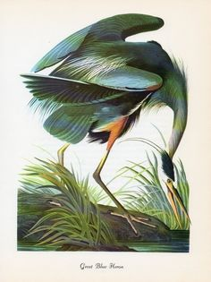 Great Blue Heron Art Print for sale. Shop your favorite John James Audubon Great Blue Heron Art Print without breaking your banks. Audubon Prints, Audubon Birds, Blue Heron, Poster Art, Poster Prints, Bird Poster, Vintage Posters, Vintage Prints, Vintage Art