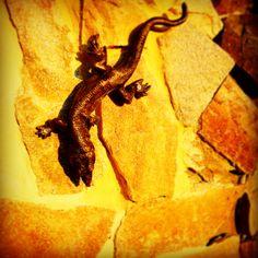 Rzygacz ścienny- jaszczurka