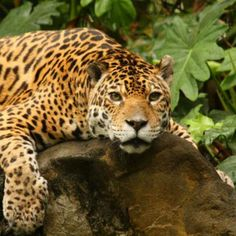 Jaguars preying on green sea turtles creates conservation headache in Costa Rica
