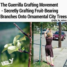 In San Francisco there is a group of fruit lovers that practice guerilla grafting - they graft fruit bearing branches into fruitless ornamental trees across the Bay Area.  Considering the level of poverty in the city free access to fruit is a fantastic idea. With no means to afford a decent meal the homelesss would benefit from this. However guerrilla grafting is actually illegal.  In many populous areas urban foresters make it so that the fruit trees dont grow fruit in a way to keep fallen…