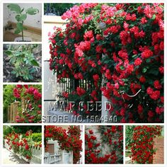 5 types of climbing Seeds Beautiful lovely color colorful yellow white purple red pink Free Shipping - in pink 30 datura seeds, dwarf brugmansia angel trumpet, bonsai flowers, delicious fragrance, exotic colorful flwoerus $ 1.99 / lot pieces / lot I psck 30 from species of bonsai Aliexpress.com   Alibaba Group