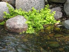 Grow creeping Jennyas a groundcover, around and between the rocks in your pond or in submerged containers. It thrives in moist soil or water up to an inch deep, in full sun to part shade. The plants have chartreuse leaves, tiny yellow flowers and a trailing growth habit. Recommended for zones 3 to 10, it can be invasive but is easily managed by pulling. Never discard the plants in lakes or public waterways where they can spread.