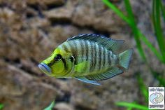 "Altolamprologus compressiceps ""Gold Head"" Kasanga"