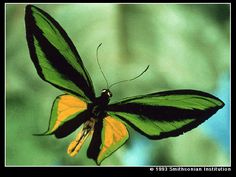 """Papilionidae. Known as """"Swallowtail, butterflies, most species have prominent """"tails."""" Some 600 species in the world."""