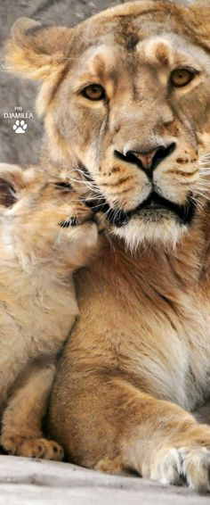 Mother Love @michaelOXOXO @JonXOXOXO @emmaruthXOXO @emmammerrick #LOVELYANIMALS Nature Animals, Animals And Pets, Baby Animals, Cute Animals, Beautiful Cats, Animals Beautiful, Big Cats, Cats And Kittens, Mon Zoo