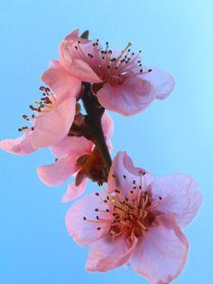 Peach blossom by Snezana Petrovic