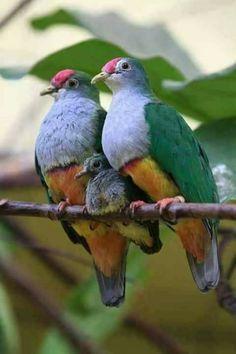 BIRD - Fruit-Doves (Ptilinopus pulchellus) also known as the Rose fronted Pigeon Photo : T. Tropical Birds, Exotic Birds, Colorful Birds, Clay Birds, Pet Birds, Beautiful Fruits, Beautiful Birds, Pigeon, Lilac Breasted Roller