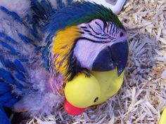 Blue Macaw and his duckie