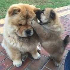 #flashback to when I first met my new family. Mummy was impressed by my ability to annoy all the other dogs. #nothingschanged  #chowchow #chowchowlovers #chowchowlover #chowchows #chowchowgallery #love #cute #ewok #dogsofmelbourne #dogsofig #dogsofinstaworld #dogsofinsta #dogsofmelbourne #dogsoftheday #puppy #puppylove #puppygram #puppylife #puppydog