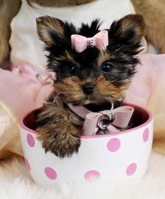 Teacup Yorkies For Sale, Teacup yorkie dogs Florida Teacup Yorkie For Sale, Yorkies For Sale, Yorkie Puppy For Sale, Yorkie Dogs, Pet Puppy, Tiny Puppies, Cute Puppies, Cute Dogs, Stinky Dog