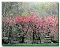 Amazon.com: Redbud Tree Grove in Bloom Natchez Trace Parkway ...