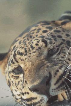 - hashpe:   Big Cat Week | © | HP