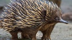 Echidnas , sometimes known as spiny anteaters, belong to the family Tachyglossidae in the monotreme order of egg-laying mammals. Echidna, Australian Animals, Wild Life, Mammals, Wildlife Nature