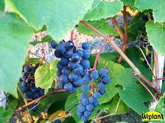 Vitis 'Zilga', Lettiska kalljordsvin, Härdig (-35 grader) Söta blåa druvor, självfertil. Planteras utomhus på varm plats så druvorna hinner mogna. Obs! Sur jord (pH=5,5).
